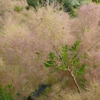 Cotinus Coggygria 'Young Lady' - Pruikenboom 40-60 Cm In Pot