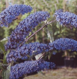 Buddleja davidii 'Empire Blue' - Vlinderstruik 40-60 Cm In Pot