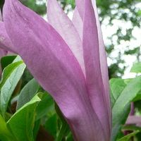 Magnolia 'Susan' - Beverboom - 150-175 Cm Pot