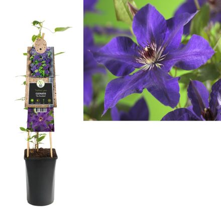 Klimplant Clematis The President 75 Cm