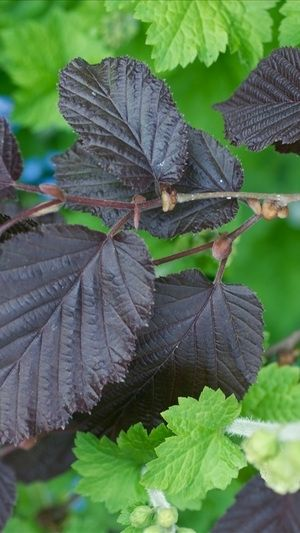 Corylus Maxima 'Purpurea' - Rode Hazelaar 60-80 Cm In Pot