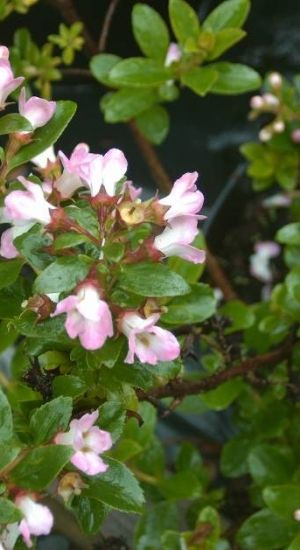 Escallonia 'apple Blossom' - Escallonia 40-50cm In Pot
