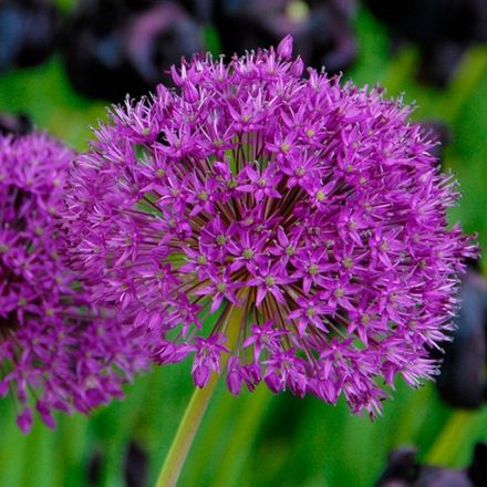 50 x Allium Purple Sensation - Sierui