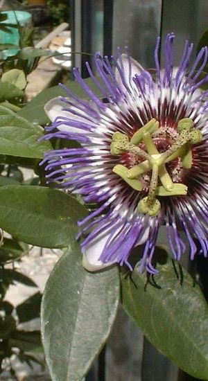 Passiflora 'purple Haze' - Passiebloem 50-60 Cm In Pot