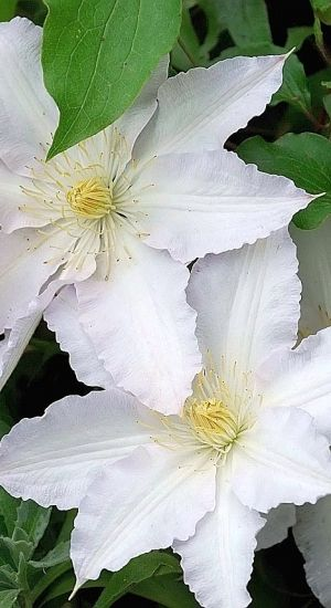 Clematis 'Gladys Picard' - Bosrank 50-60 Cm In Pot