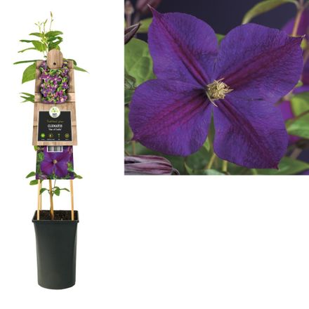 Klimplant Clematis Star Of India 75 Cm