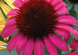 6 x Echinacea purpurea 'After Midnight' -  Zonnehoed Pot 9x9cm
