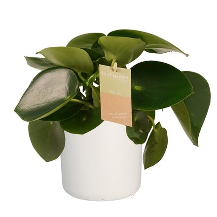 Decorum Peperomia Raindrop Feel Green - Elho b.for white