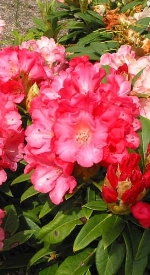 Rhodo 'Surrey Heath' Rhododendron 25-30cm Pot