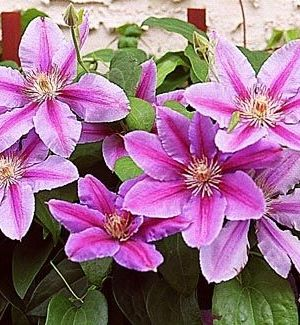 Clematis 'Nelly Moser' - Bosrank 50-60 Cm In Pot